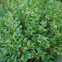 Buxus sempervirens 'Variegata' - Palmboompje , Randpalm