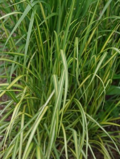 Calamagrostis × acutiflora 'Eldorado' - Bont struisriet