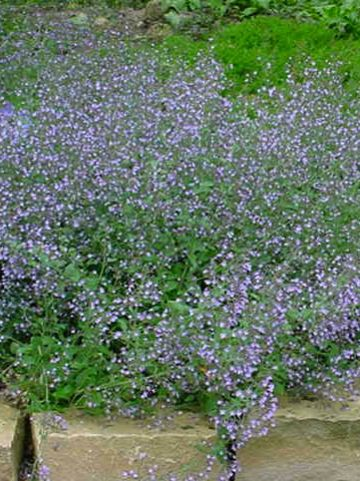 Calamintha nepeta 'Blue Cloud' - Bergsteentijm