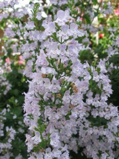 Calamintha nepeta subsp. nepeta - Bergsteentijm