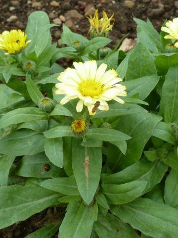 Calendula officinalis - Goudsbloem