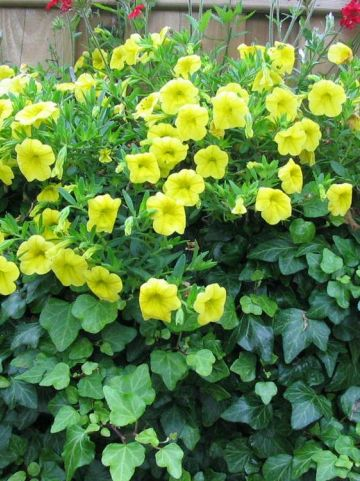 Calibrachoa  'Million Bells Lemon' (='Sunbelkic') - Minipetunia