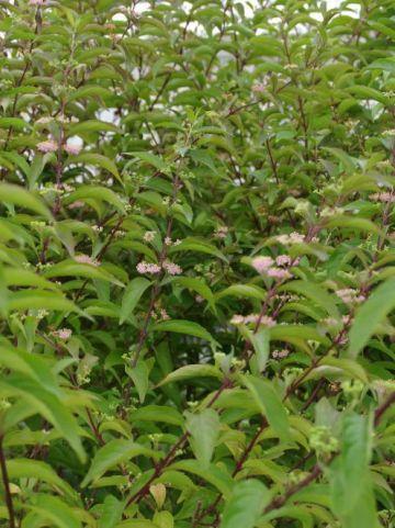 Callicarpa dichotoma 'Earley Amethyst' -
