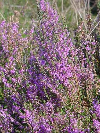 Calluna vulgaris  - Struikheide