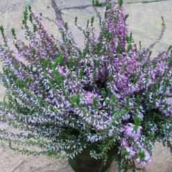 Calluna vulgaris 'Anette' - Struikheide
