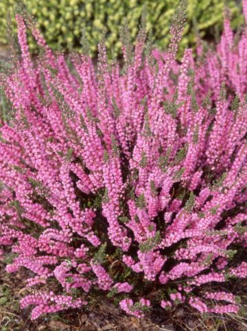 Calluna vulgaris 'Annemarie' - Struikheide