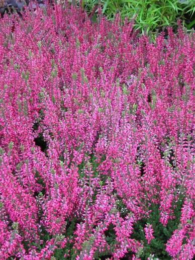Calluna vulgaris 'Athene' - Struikheide