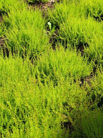 Calluna vulgaris 'Bonita' - Struikheide