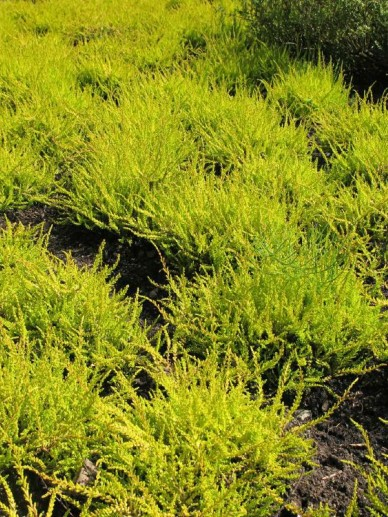 Calluna vulgaris 'Boskoop' - Struikheide