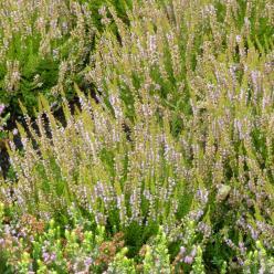 Calluna vulgaris 'Cuprea' - Struikheide
