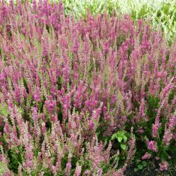 Calluna vulgaris 'Dark Beauty' - Struikheide