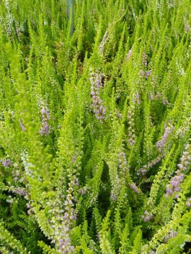 Calluna vulgaris 'David Hagenaars' - Struikheide