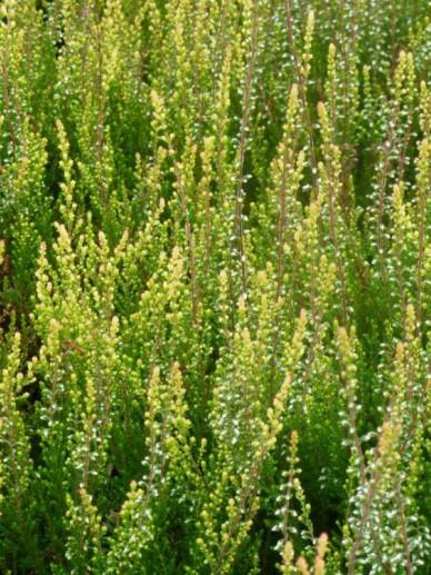 Calluna vulgaris 'Easter-bonfire' - Struikheide