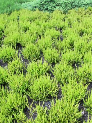 Calluna vulgaris 'Firefly' - Struikheide