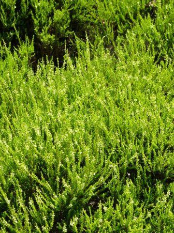 Calluna vulgaris 'Gold Haze' - Struikheide