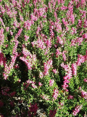 Calluna vulgaris 'Haalboom's Red' - Struikheide