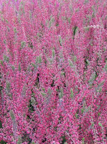 Calluna vulgaris 'Larissa' - Struikheide