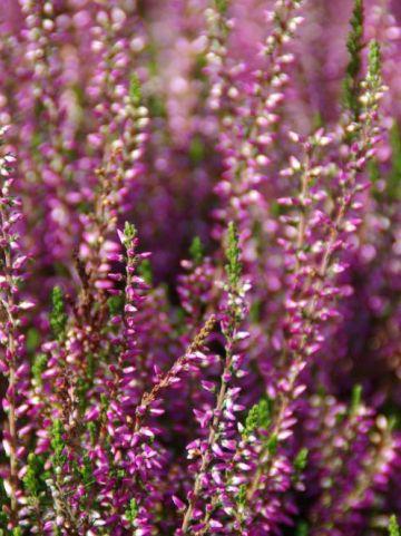 Calluna vulgaris 'Laurentine' - Struikheide
