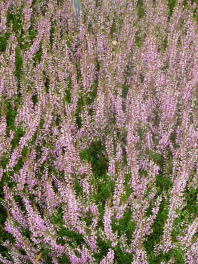 Calluna vulgaris 'Marleen' - Struikheide