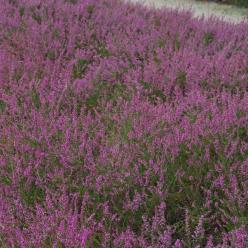 Calluna vulgaris 'Marlies' - Struikheide