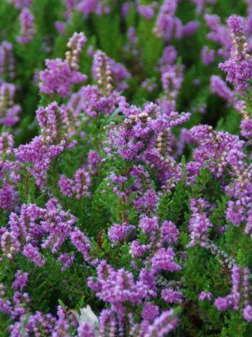 Calluna vulgaris 'Mullion' - Struikheide
