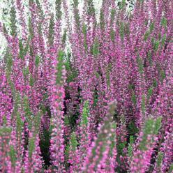 Calluna vulgaris 'Perestrojka' - Struikheide