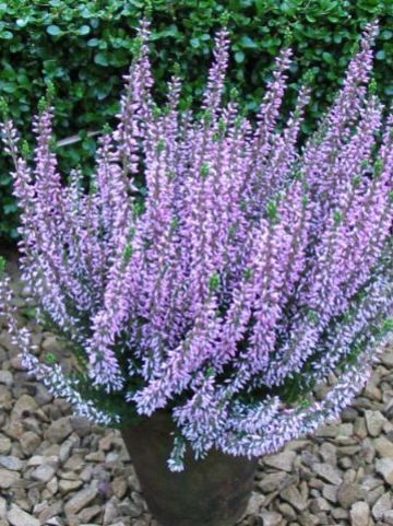 Calluna vulgaris 'Pink Alicia' - Struikheide