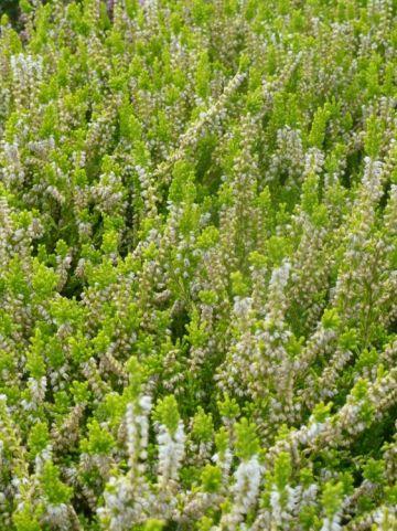 Calluna vulgaris 'Sandy' - Struikheide