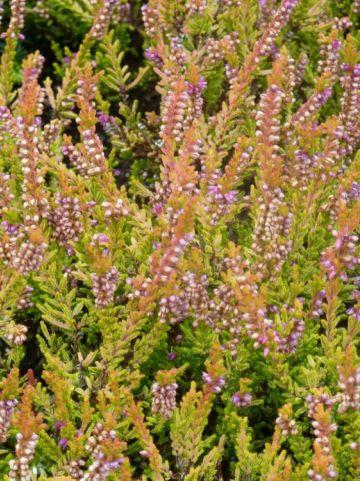 Calluna vulgaris 'Sir John Charrington' - Struikheide