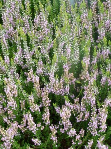 Calluna vulgaris 'Spring Torch' - Struikheide