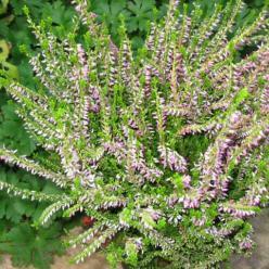 Calluna vulgaris 'Theresa' - Struikheide