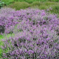Calluna vulgaris 'Tib' - Struikheide