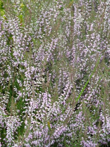Calluna vulgaris 'Underwoodii' - Struikheide