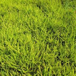 Calluna vulgaris 'Wickwar Flame' - Struikheide