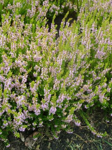 Calluna vulgaris 'Winter Chocolate' - Struikheide