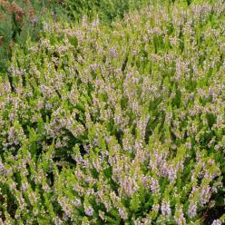 Calluna vulgaris 'Winter Chocolate' - Struikheide
