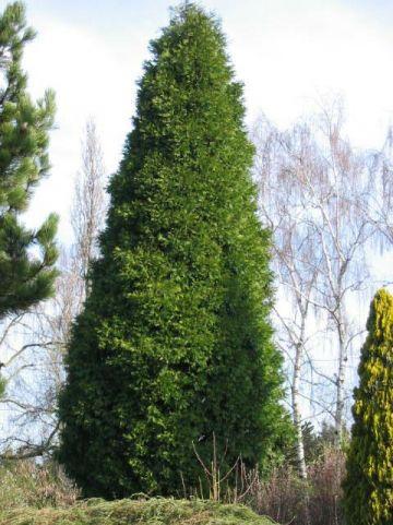 Calocedrus decurrens - Witte ceder, wierookceder, zuil-cipres