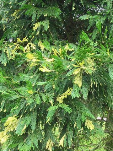 Calocedrus decurrens 'Aureovariegata' -