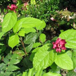 Calycanthus × raulstonii 'Hartlage Wine' -