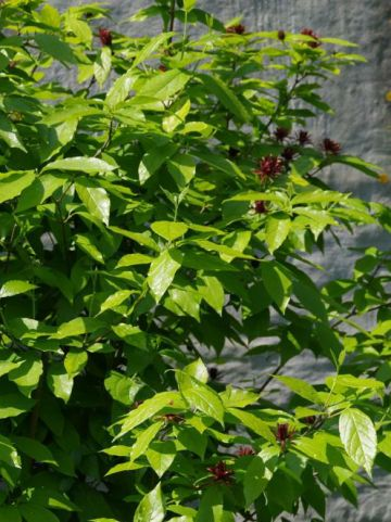 Calycanthus floridus var. glaucus  - Specerijstruik , Meloenboompje