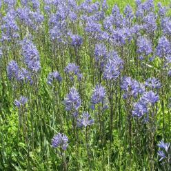 Camassia leichtlinii  - Prairielelie