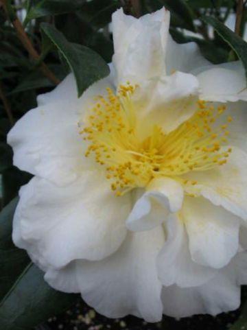 Camellia  'Alba Simplex' -