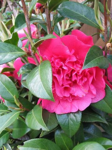Camellia  'Anticipation' -