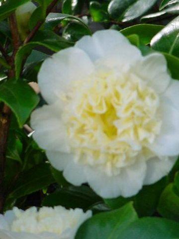 Camellia  'Brushfield's Yellow' -