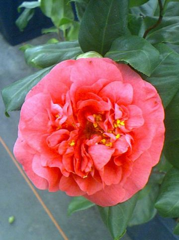 Camellia  'Curly Lady' -