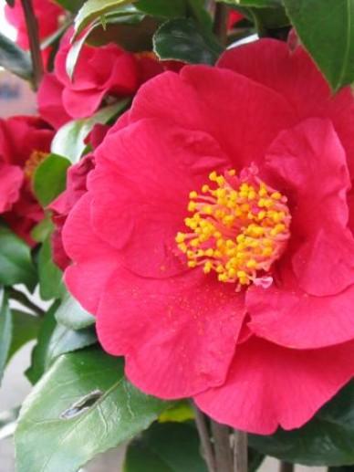 Camellia  'Dr. Burnside' -