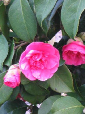Camellia  'Elegans' -
