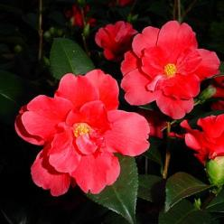 Camellia  'Freedom Bell' -