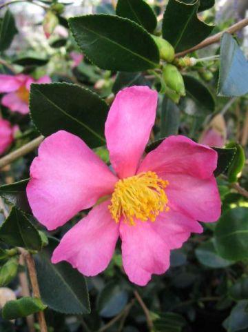 Camellia  'Hugh Evans' -