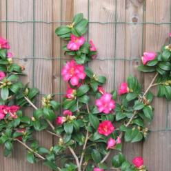 Camellia  'Kanjirô' - Theestruik
